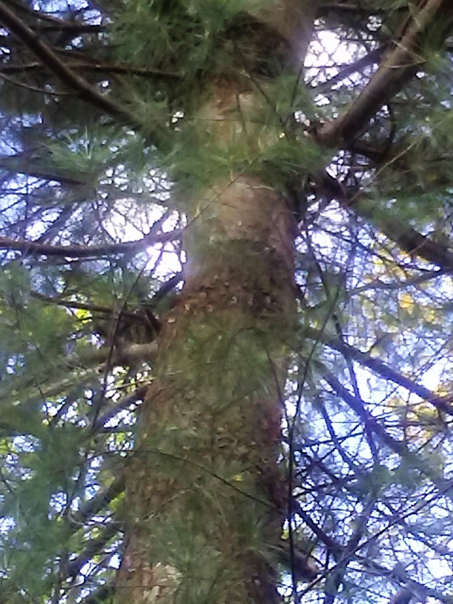 female pine pic (2)